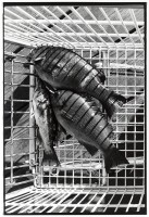 http://ed-templeton.com/files/gimgs/th-150_Fish in shopping cart Catalina.jpg