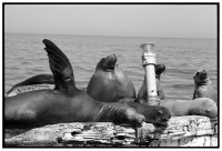 http://ed-templeton.com/files/gimgs/th-150_Sea Lions on Bouy Catalina.jpg