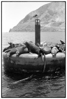http://ed-templeton.com/files/gimgs/th-150_Sea Lions on Bouy quarry Catalina.jpg