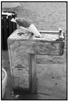 http://ed-templeton.com/files/gimgs/th-150_Seagull drinks fountain Avalon.jpg