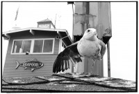 http://ed-templeton.com/files/gimgs/th-150_Seagull one leg Catalina.jpg